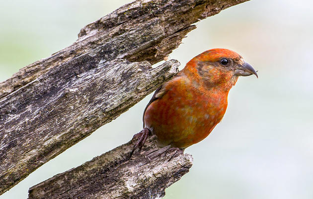 When Does a Crossbill's Beak Get Twisted?