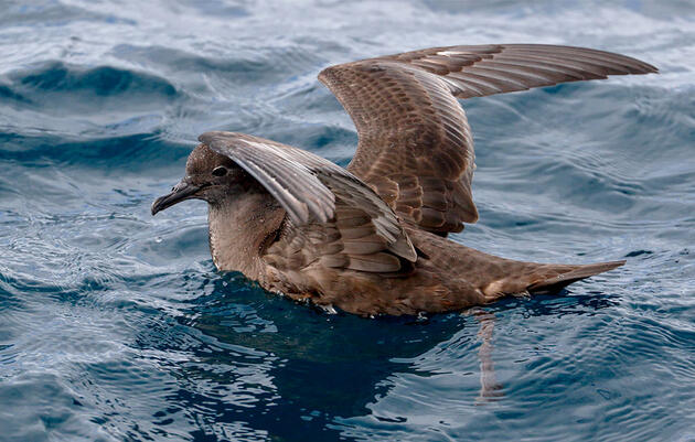 Where Have All the Short-tailed Shearwaters Gone?