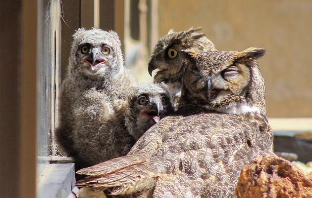 The Unprecedented Case of Co-Parenting Mama Owls