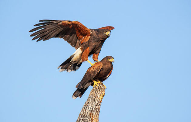 Better Know a Bird: How Harris's Hawks Hunt Like Wolves to Bring Down Prey