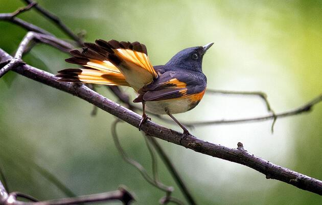 Birdist Rule #59: Learn to Identify Warblers From Below