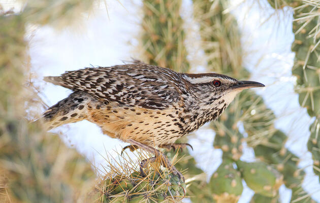How Desert Birds Can Survive With Very Little Water