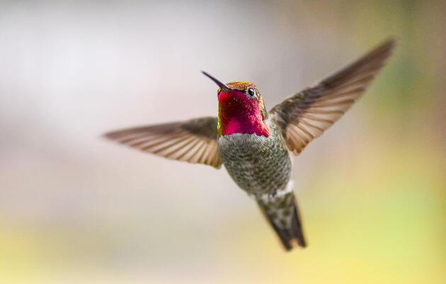 Hummingbirds Shake Their Tail Feathers to Generate High-Pitched Sounds