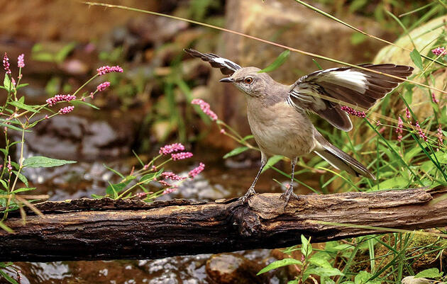 10 Fast Facts About Northern Mockingbirds