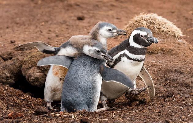 What It's Like to Hold a Baby Penguin