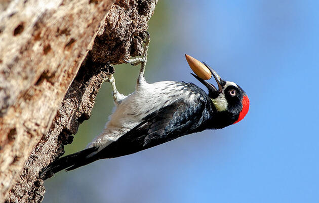 When It Comes to the Family Granary, an Acorn Woodpecker's Work Is Never Done