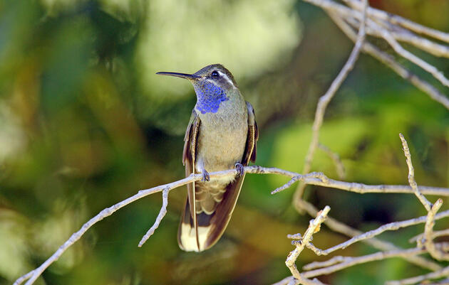 Hello, Mountain-gem! The 2019 Update To North American Bird Names Is Here.