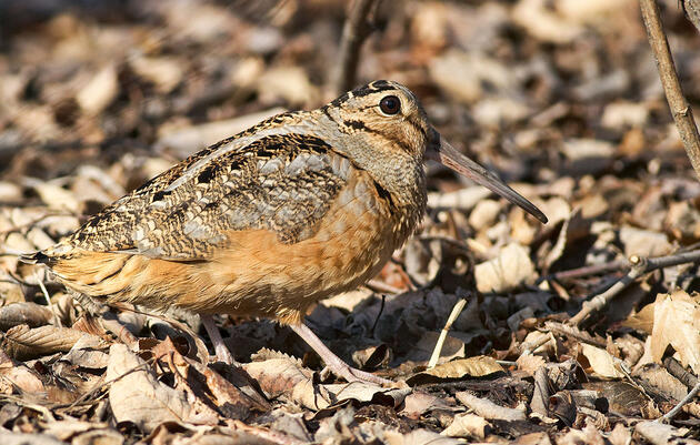 Why the American Woodcock's Ears Are Below Its Big Eyes