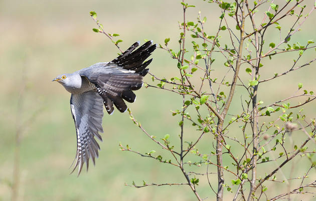 Could Alaska's Songbirds Defend Themselves If Cuckoos Invade?