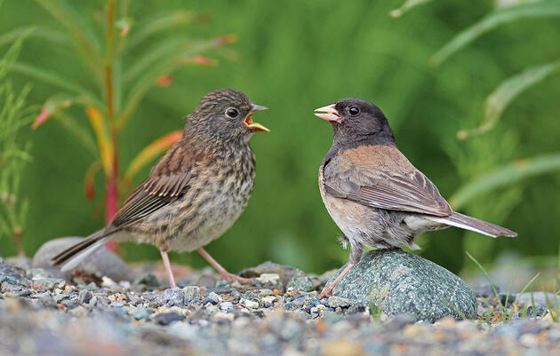 Why Some Songbirds Kick Their Chicks Out Before They Can Fly