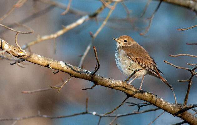 How Thrushes Produce Those Ethereal, Flute-Like Songs