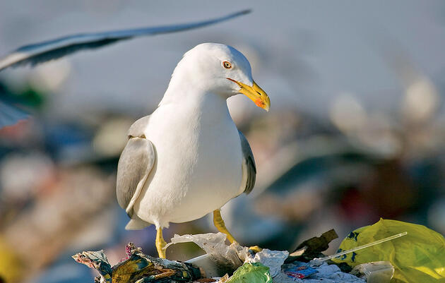 Righting the Record for the World's Premier Trash Birds