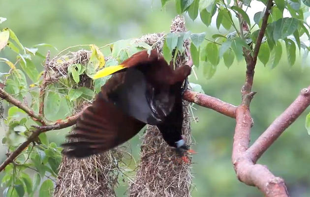 This Bizarre Bird Is a Master of Choreography