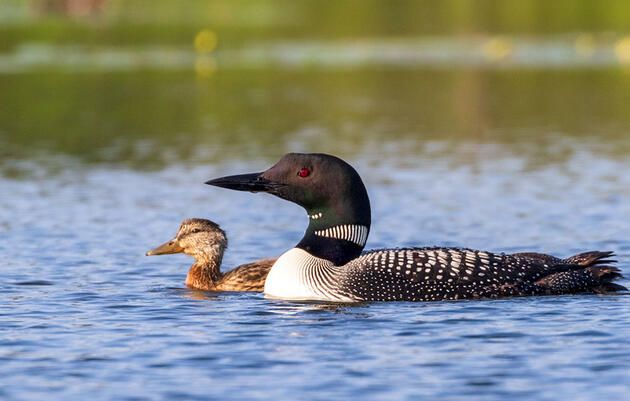 A Mallard Duckling Is Thriving—and Maybe Diving—Under the Care of Loon Parents
