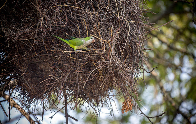 Exotic Parrot Colonies Are Flourishing Across the Country