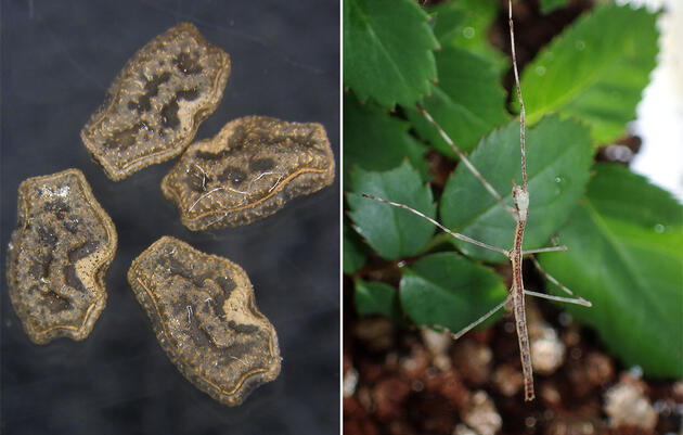 Neat! Stick Insect Eggs Can Survive Being Eaten by Birds