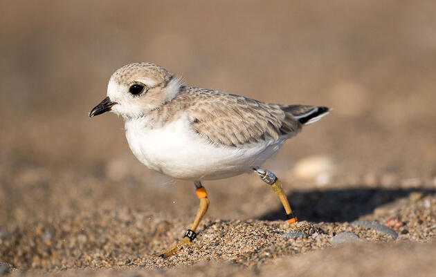 Piping Plovers Nest in Toronto's Shadow for First Time in 84 Years