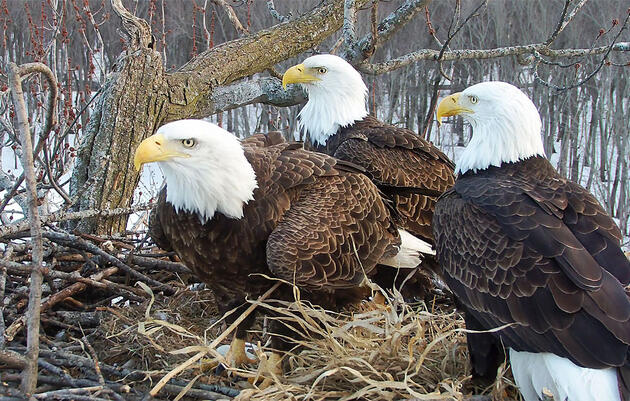 A Rare Bald Eagle Trio—Two Dads and a Mom—Captivates Webcam Fans