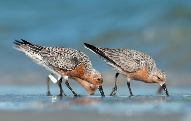 A New Sanctuary in Chile Will Protect the Red Knot's Winter Home