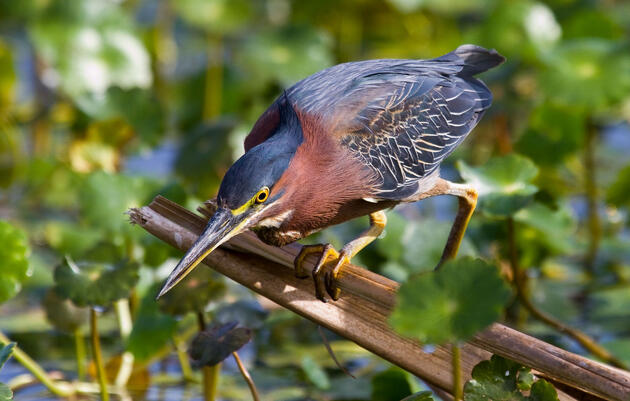 The Clever Way Green Herons Lure Prey