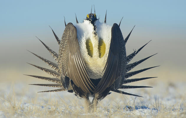 The Fight for the Greater Sage-Grouse