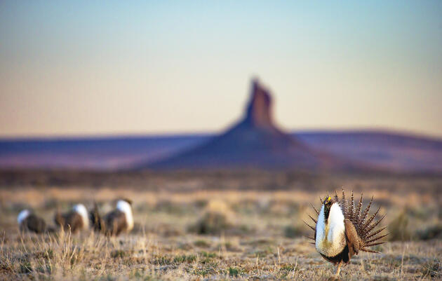 Greater Sage-Grouse are one of many sagebrush obligate species that depend on the vegetation and its associated habitat for existence. Noppadol Paothong