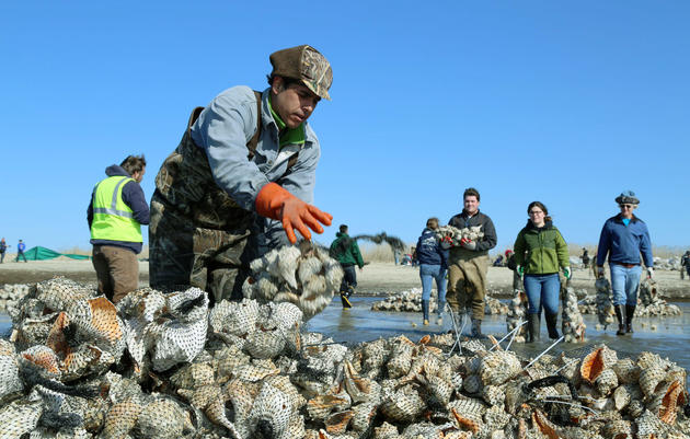"""On April 4, conservation organizations mobilized volunteers on New Jersey's South Reed's Beach to build a 300-foot """"oyster castle"""" out of conch shells. The man-made reef will make the water more welcoming to horseshoe crabs and shorebirds. Ben Mirin"""