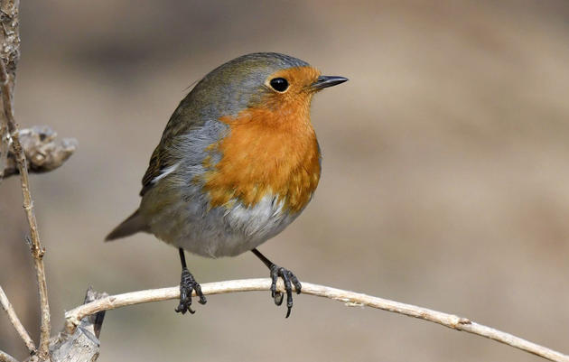 A Vagrant European Robin Is Drawing Huge Crowds in China