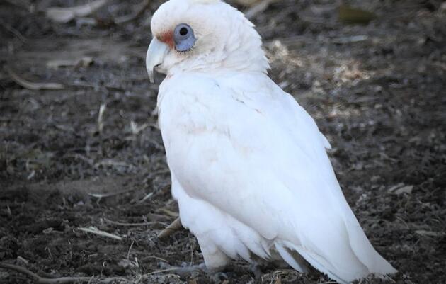 A Western Corella was Noah's first new bird in Western Australia. Noah Strycker