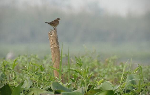 A Pallas's Grasshopper-Warbler tees up at Maguri Bill. Noah Strycker