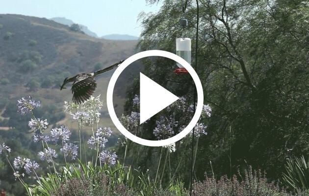 ¡Increíble! Vea cómo un correcaminos captura furtivamente a un colibrí mientras se alimenta