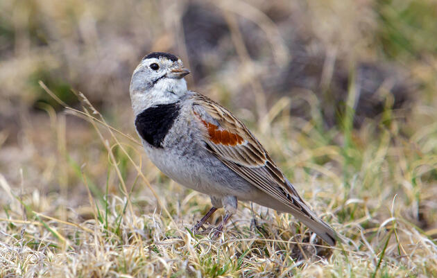 The Bird World Is Grappling With Its Own Confederate Relic: McCown's Longspur