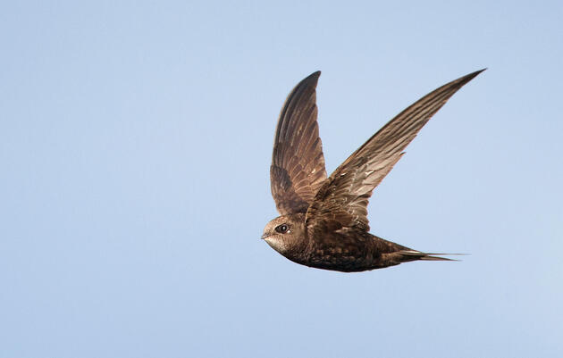 The Common Swift Is the New Record Holder for Longest Uninterrupted Flight