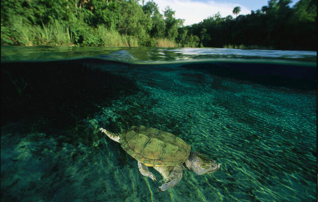 Snapping turtles spend most of their time in water, where they are much less aggressive than they are on land. George Grall / National Geographic Stock