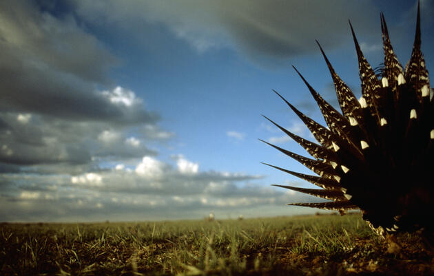 A male sage grouse splays tail feathers to attract a mate. Credit: Joel Sartore