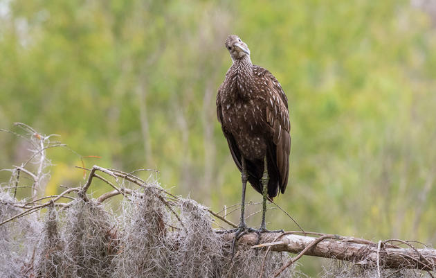 Listen to the Limpkin's Banshee Wail
