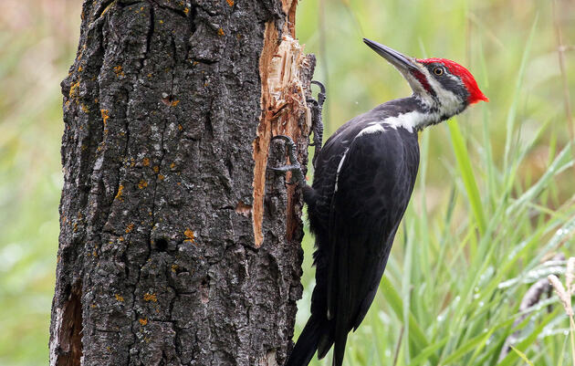 Woodpeckers Lap Up Ants With Their Long Sticky Tongues