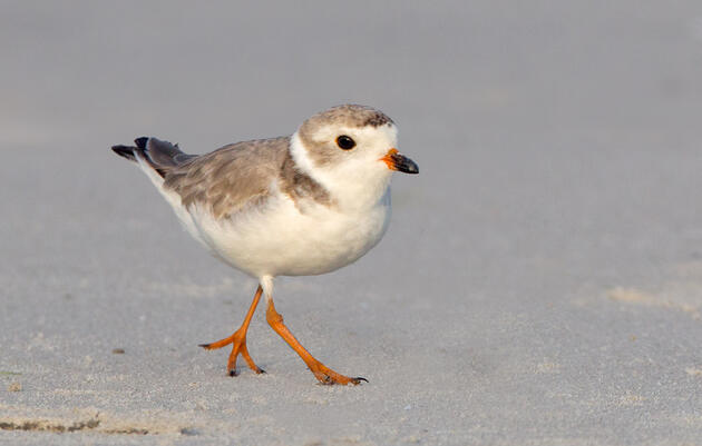 Piping plover Photograph by David Speiser