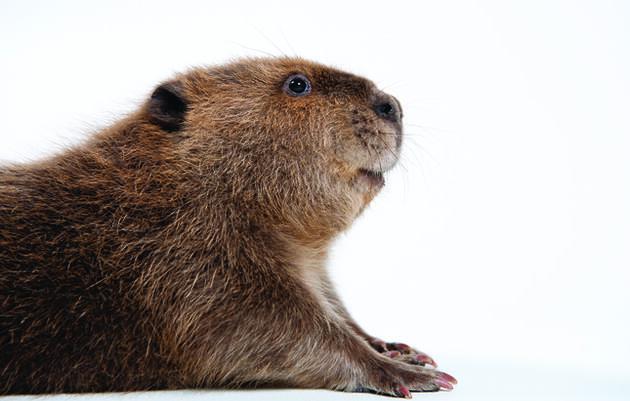 Beavers' Comeback Helps Restore Ecosystems
