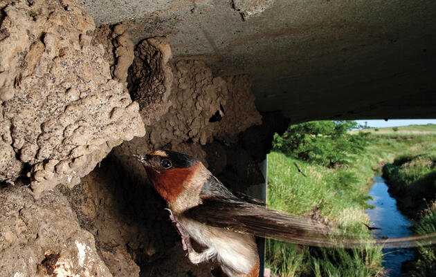 Swallows Evolve for Life Near the Road
