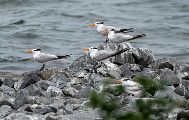 In Virginia, a Race to Ready New Nesting Sites for 20,000 Returning Seabirds