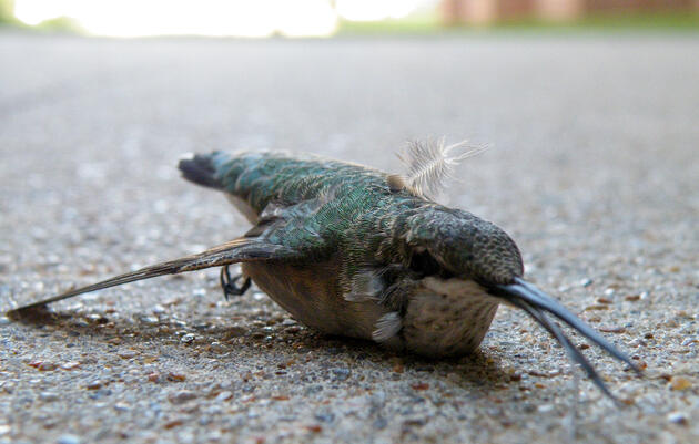 Building Collisions Are a Greater Danger for Some Birds Than Others