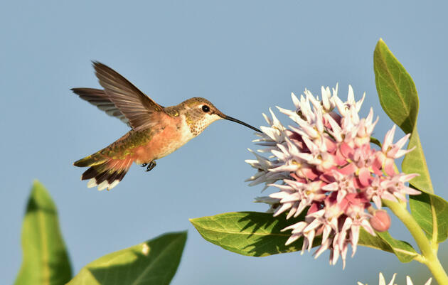 How Climate Change Affects Hummingbirds' Feeding Behavior
