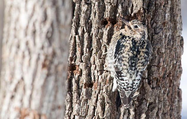 Los fabricantes de jarabe de arce convierten sus bosques en hábitats óptimos para las aves cantoras