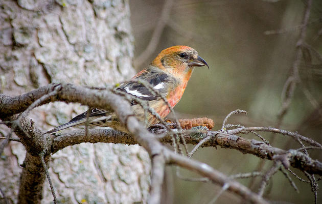 Crossbills Are the Grail Birds of the Adirondacks