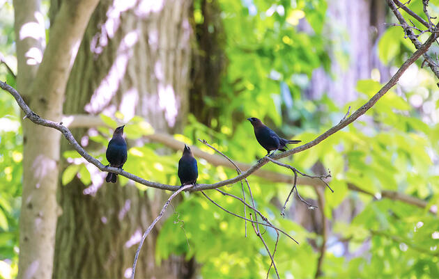 Scientists Pinpoint the Secret Password That Unlocks Cowbirds' Self-Identity