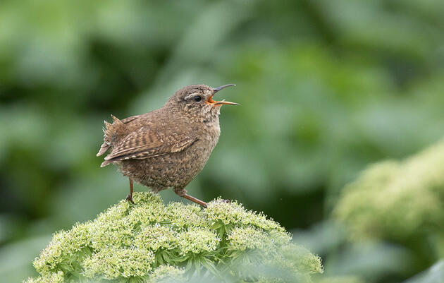 Listen to Every Pitch Change in a Pacific Wren Call