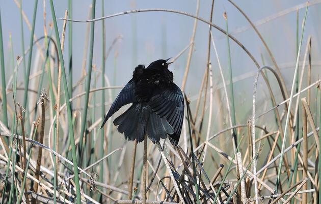 The Quirky Timbres of Blackbird Songs