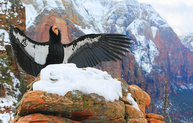 California Condors Could Soon Soar Above the Redwoods Again Thanks to One Local Tribe