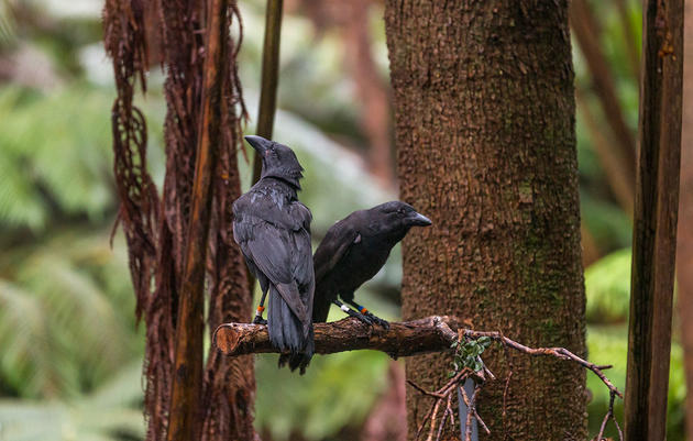 A Year Later, It's Take Two for the Hawaiian Crow's Return to the Wild